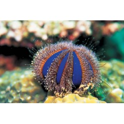 Color Sea Urchin	/ Mespilla globulus