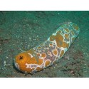Red Sea Cucumber (Indo) / Synapta species