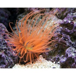 Orange Tube Anemone  / Cerianthus membranacus