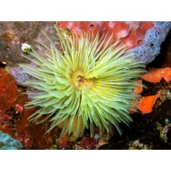 Yellow Tube Worm / Sabellastarte indica