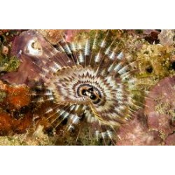 Assorted Tube Worm / Sabellastarte indica