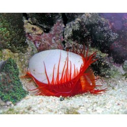 Red Flame Scallop / Limaria sp