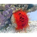 Long Tentacles Red Scallop / Limaria sp