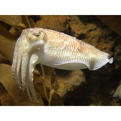 Cuttle Fish / Sepia officinalis