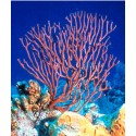 Assorted Colour Gorgonian / Euplexaura sp.