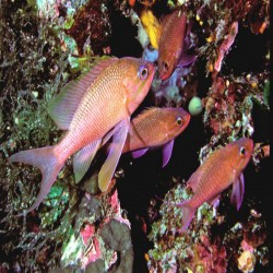 BERBER BALIĞI ( Anthias anthias )