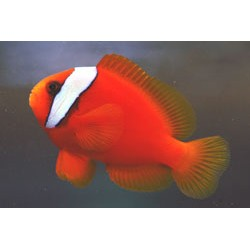 Red Tomato Clown Large (Amphiprion frenatus)
