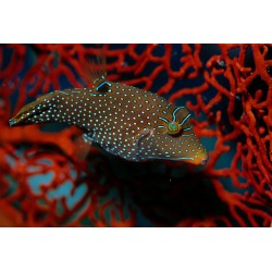 Honeycomb Toby	 / Canthigaster papua