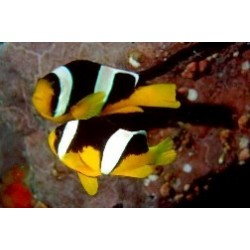 Yellow Bellied Clown Juv (Amphiprion allardi)