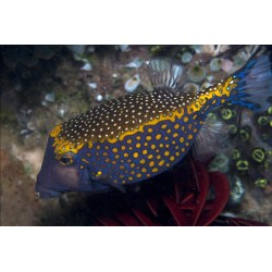 Spotted Boxfish-black (Female)	/ Ostracion meleagris