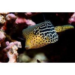 Striped Boxfish-Yellow (Female) / Ostracion solorensis