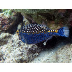 Common Boxfish / Ostracion sp.