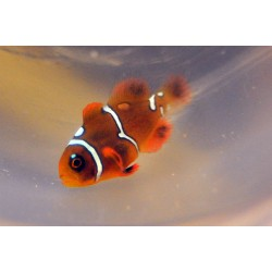Local Clownfish (JUV) Amphiprion ocellaris