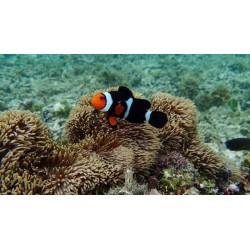 Black Frame Percula Amphiprion percula