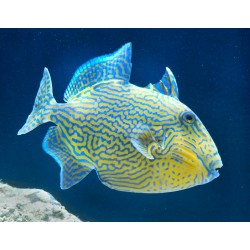 Blue-lined Triggerfish / Pseudobalistes fuscus