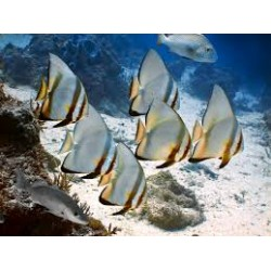 Orbiculate Batfish / Platax orbicularis