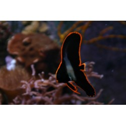 Long-finned Batfish / Platax pinnatus