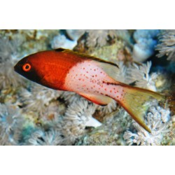 Lyretail Hogfish / Bodianus anthioides