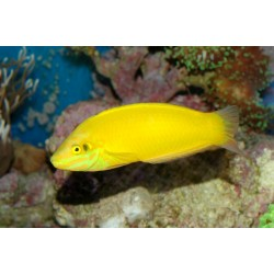 Yellow Wrasse - Golden Wrasse / Halichoeres chrysus