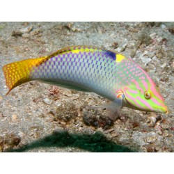 Yellow-lined Wrasse (Female) / Halichoeres melanurus