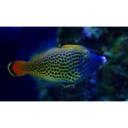 Spotted Fantail Filefish / Aluterus sp.